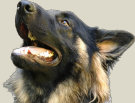 uk-gsr-uk-german-shepherd-rescue-angles001074.jpg