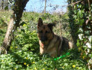 uk-gsr-uk-german-shepherd-rescue-angles019032.jpg