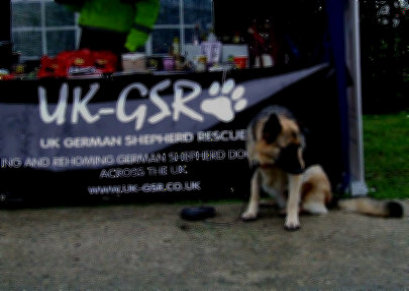 uk-gsr_uk-german-shepherd-rescue001021.jpg