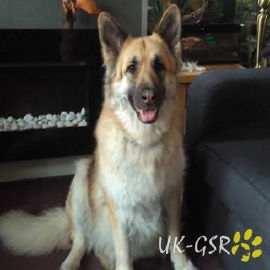 uk-gsr_uk-german-shepherd-rescue002004.jpg