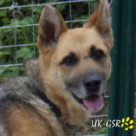 uk-gsr_uk-german-shepherd-rescue002016.jpg