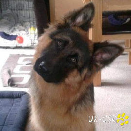 uk-gsr_uk-german-shepherd-rescue002020.jpg