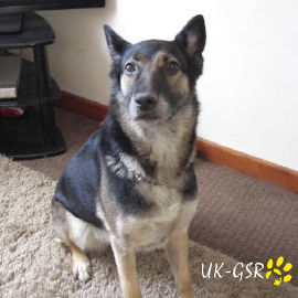 uk-gsr_uk-german-shepherd-rescue002022.jpg