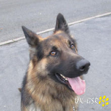 uk_german_shepherd_rescue_angels_uk-gsr002002.jpg
