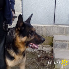 uk_german_shepherd_rescue_angels_uk-gsr002012.jpg