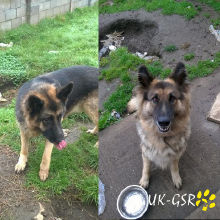 uk_german_shepherd_rescue_angels_uk-gsr002023.jpg