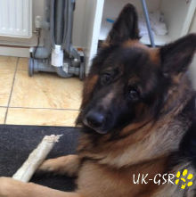 uk_german_shepherd_rescue_angels_uk-gsr002037.jpg