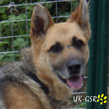 uk_german_shepherd_rescue_angels_uk-gsr002039.jpg